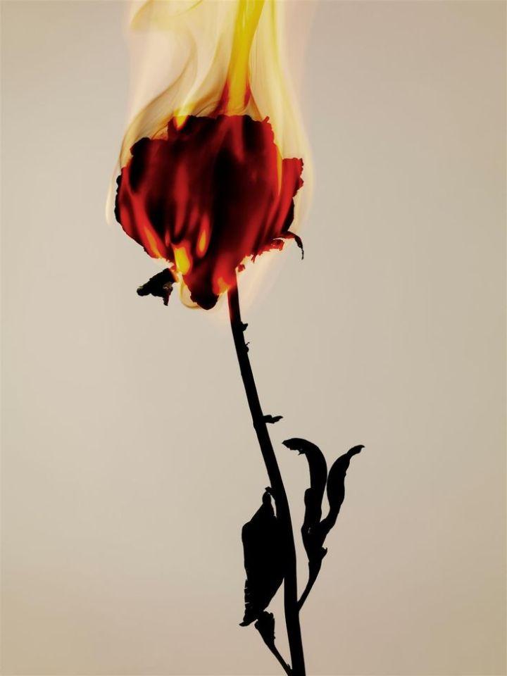 burning-rose